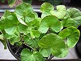 Asklepios-seeds® - 100 Centella asiatica Samen, Tigergras, Gotu Kola, asiatischer Wassernabel